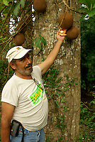 Guide holding Cannonball Tree flower at Lancetilla Botanical Garden, Honduras. Lancetilla Garden was established by American botanist William Popenoe in 1926.