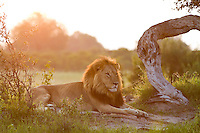 Sunlight coming up through the trees warms an African lion laying in the grass, Botswana, Africa