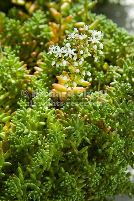 37069 cnd stonecrop sedum album 39 coral carpet 39 at watsonville richard shiell - Sedum album coral carpet ...