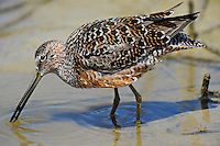 518490023 a wild adult long-billed dowitcher limnodromus scolopaceus in fresh breeding plumage forages in a shallow pond in ventura california united states