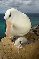 Black-browed Albatross adult and chick on the nest (Diomedea melanophris), Falkland Islands.