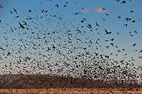 Blackbirds in Flight<br /> Cutchogue, Long Island
