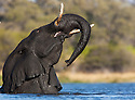 Botswana, Okavango Delta, Moremi Game Reserve, young African elephant bull (Loxodonta africana) bathing in river and joyfully throwing trunk into air