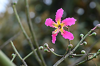 Floss Silk Tree (Ceiba speciosa, formerly Chorisia speciosa)