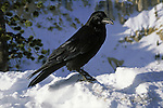 A Common Raven perches in the snow.
