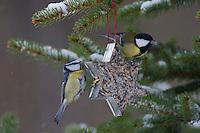 Kohlmeise und Blaumeise an der Vogelfütterung, Fütterung im Winter bei Schnee, an Fettfutter in weihnachtlichen Formen, weihnachtlich, selbstgemachtes Vogelfutter, Winterfütterung, Kohl-Meise, Meise, Parus major, great tit, Blau-Meise, Cyanistes caeruleus, Parus caeruleus, blue tit