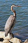 Great Blue Heron, Balboa Island, CA.