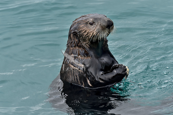 Adult Sea Otter (Enhydra lutris) looking around before diving for food,  Prince William Sound, Alaska.
