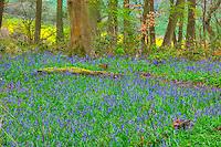 English bluebells, Micheldever Wood, Hampshre, England, United Kingdome  hyacinthoides non-scripta  UK Forestry site
