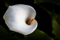 Spring calls a cala lily to life, encouraging it to spring up, open its flower, and live.