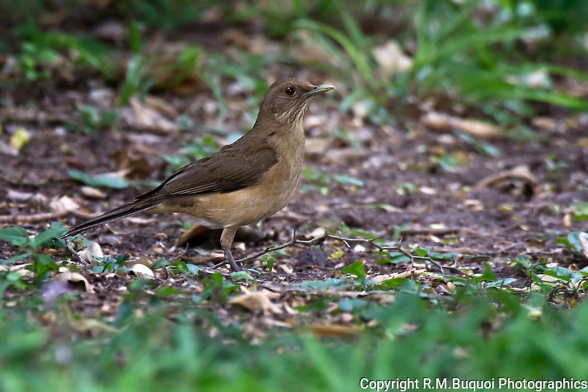 Clay-colored Thrush, formally known as the Clay-colored Robin