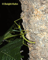 OR07-566z  Walking Stick Insect Juvenile, Ctenomorphodes briareus