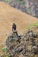Golden Eagle, Denali National Park, interior, Alaska.