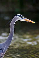 Great Blue Heron, Ardea herodias, on riverbank in the Everglades, Florida, USA