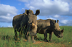 White rhino, Ceratotherium simum, with calf, Ithala game reserve, South Africa