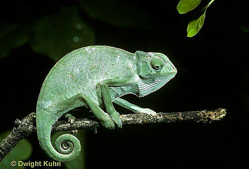 CH23-044z  African Chameleon - puffed up male,  warning off intruder, curled tail - Chameleo senegalensis