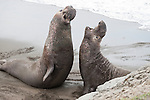 San Simeon, California; two adult male Northern Elephant Seals (Mirounga angustirostris) fight with each other to establish dominance and breeding rights for that particular section of the sandy beach