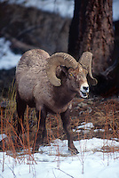 678508548 a wild adult bighorn sheep ovis canadensis forages on a snow covered hillside in yellowstone national park wyoming