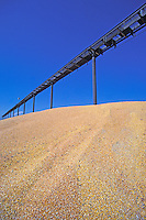 corn for cattle feed California