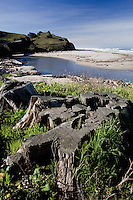 Weathered stumps mark the spot where two trees once towered over the beach and lagoon at San Gregorio State Beach, California.