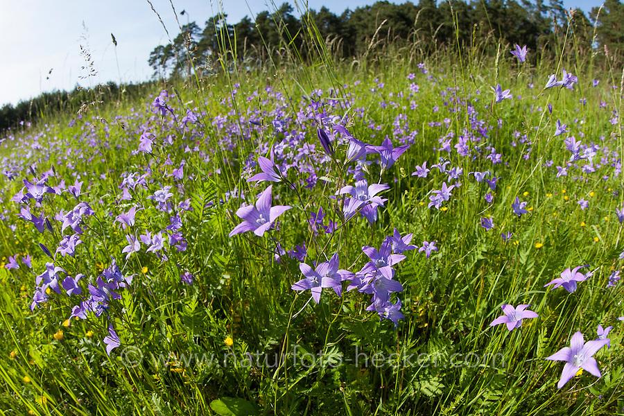 Wiesen-Glockenblume, Wiesenglockenblume, Glockenblume, Campanula patula, Spreading Bellflower, Bellflower