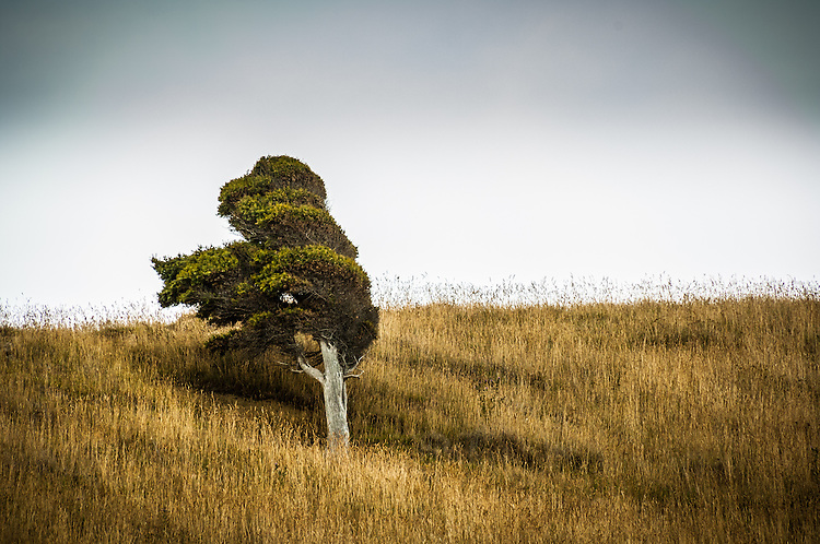 Lone windswept tree on a hillside.<br /> Catlins coast, Otago, South Island, New Zealand - stock photo, canvas, fine art print