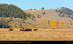 Bison, Lamar Valley in Autumn, Yellowstone National Park, Wyoming