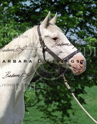 White Thoroughbred mare who carried on the Patchen Wilkes' white Thoroughbred line begun by White Beauty in 1963