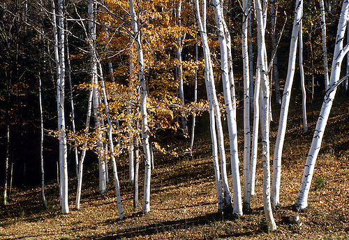 Paper birch trees, Betula papyrifera, or American white birch in New England fall
