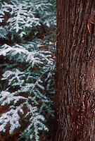 Fresh snowfall in a cedar swamp in central Wisconsin.