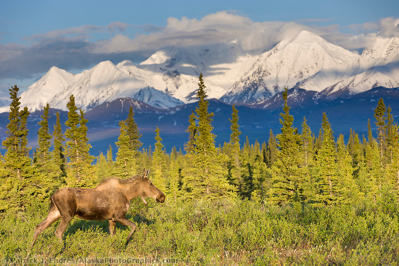 Cow moose on the tundra in morning sun in the Alaska range mountains.