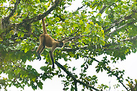 Spider monkey, Tortuguero, Costa Rica, Central America.