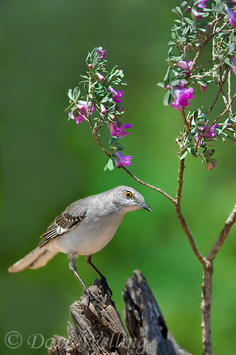 559420040 a wild northern mockingbird mimus polyglottos perches on a mesquite log by a flowering texas sage plant in the rio grande valley in south texas