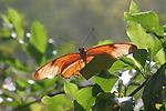 Julia heliconia, Dryas julia