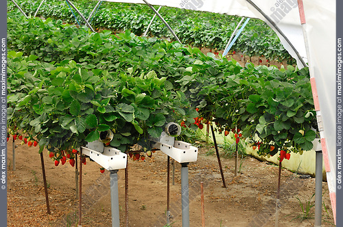 Stock photo of a Greenhouse with organic strawberry growing in suspended automatically watering trays Cyprus