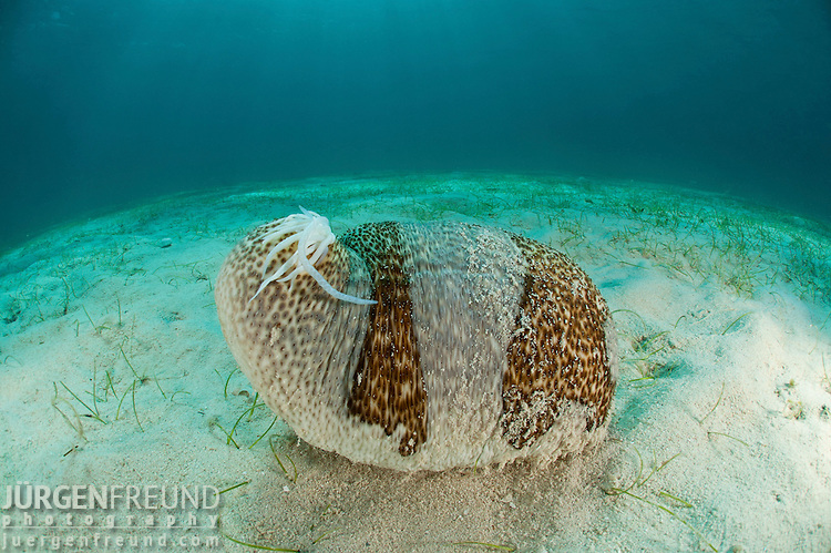 When threatened, this sea cucumber (Bohadschia marmorata) discharges sticky threads as a defense.