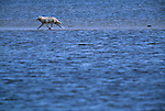An arctic wolf runs on a sand bar, Canada
