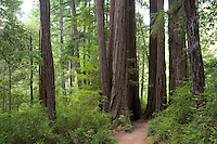 A trail leads into the RedWoods, Big Basin State Park