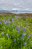 A patch of lupine wildflowers bloom along the shore of Kodiak Island, Alaska.