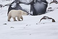 Polar Bear walking in front of a large rock on Hudson's Bay