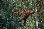 Sumatran orangutan and baby, Gunung Leuser National Park, Sumatra Indonesia