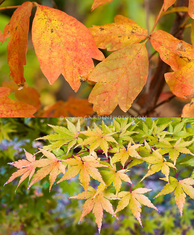 Fall autumn foliage color of two different maples: Acer griseum (top) and Acer palmatum 'Sango-kaku' (bottom)