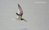 0908-0902  Black Skimmer Flying Foraging for Food (Fish), Rynchops niger © David Kuhn/Dwight Kuhn Photography