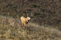 Trophy mule deer buck during the autumn rut in Colorado