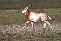 Scimitar Oryx running