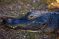 Alligator in The Everglades, Florida, USA