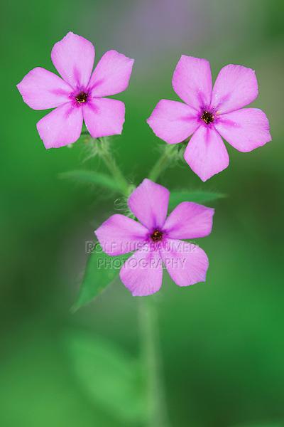 Pointed Phlox (Phlox cuspidata), blooming, Dinero, Lake Corpus Christi, South Texas, USA
