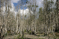 Forests of dead Melaleuca trees stand in wetland prairies in the Everglades. The invasive tree took over 500,000 acres of South Florida wetlands before restoration began near Lake Okeechobee. South Florida Water Conservation and the Everglades National Park are embarked on the largest wetlands restoration attempted--and the most expensive. <br /> Melaleuca (Melaleuca quinquenervia), of Australian origin, forms a dense monoculture choking out all other plant life as seeds blow across the &quot;River of Grass.&quot; Melaleuca invasions displace native plants and animals, the tree constitutes a severe fire hazard due to volatile chemicals in its leaves, and attempts to control the weed are very costly on a per area treated basis. The management manual removal of saplings), physical methods (prescribed burns and water level management), and biological control. Chemical, physical and mechanical methods are currently being employed, with limited success and various constraints on their practicality.