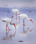 Ibis search through the sands looking for their orning meals on Marco Island Florida. Erik Kellar