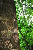 .Henkel's Leaf-tailed Gecko  (Uroplatus henkeli), adult on a rainforest tree trunk, Ankarana National Park, Northern Madagascar